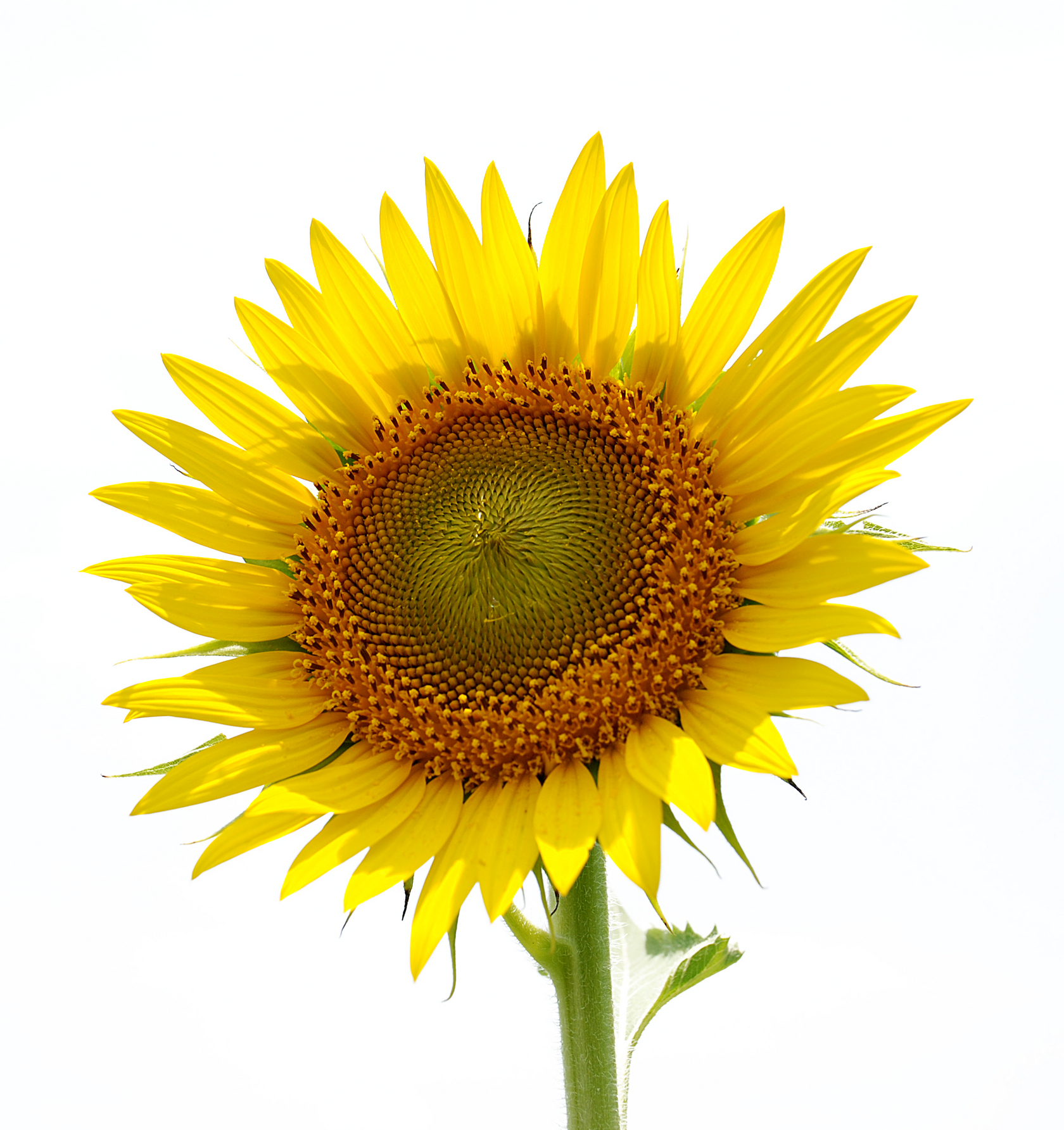 Sunflower Clipart Golden Flower Edit And Free Download